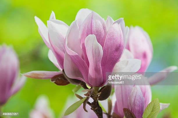 magnolia blossoms, close-up - tulip tree stock photos and pictures