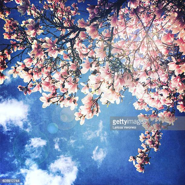 magnolia blossoms in front of blue sky - bloesem stockfoto's en -beelden
