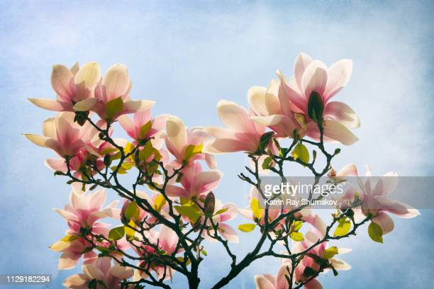 magnolia blossoms. in search of enlightement - spiritual enlightenment stock pictures, royalty-free photos & images