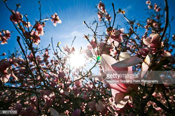 magnolia blossoms - lexington kentucky stock pictures, royalty-free photos & images