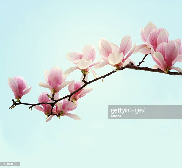 magnolia branch - magnolia stock photos and pictures