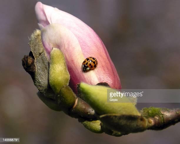 Magnolia bud with ladybird