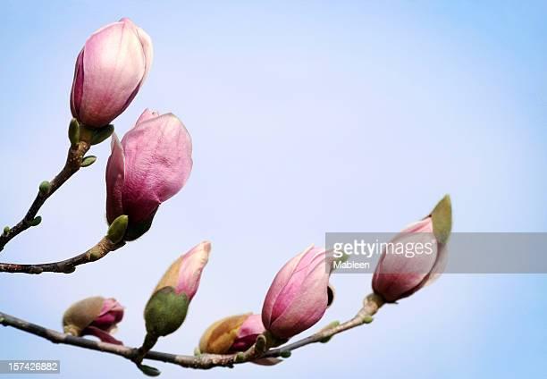 Magnolia Knospen, flachen DOF