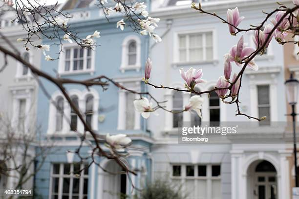 Magnolia buds sit on a tree opposite a row of coloured terraced houses in the Notting Hill district of Kensington and Chelsea in London UK on...