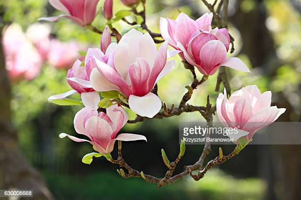 magnolia crown - magnolia stock photos and pictures
