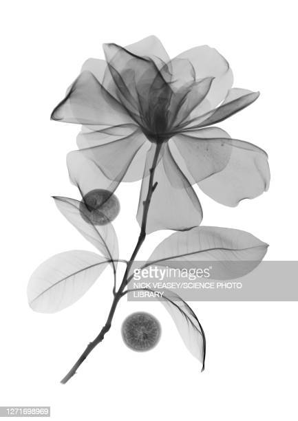 magnolia flower and acai berries, x-ray - flower stock pictures, royalty-free photos & images