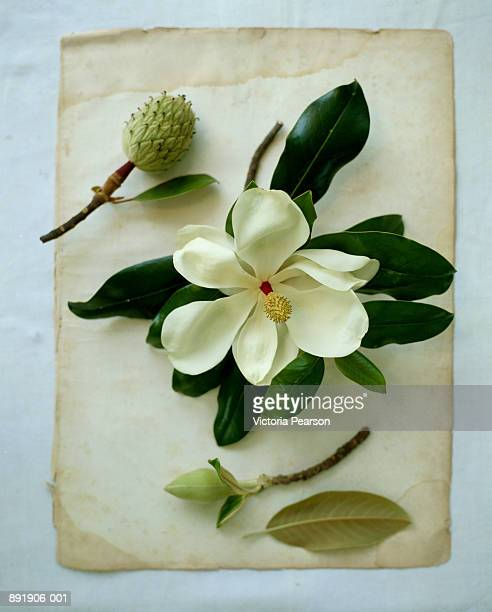 Magnolia flower and buds