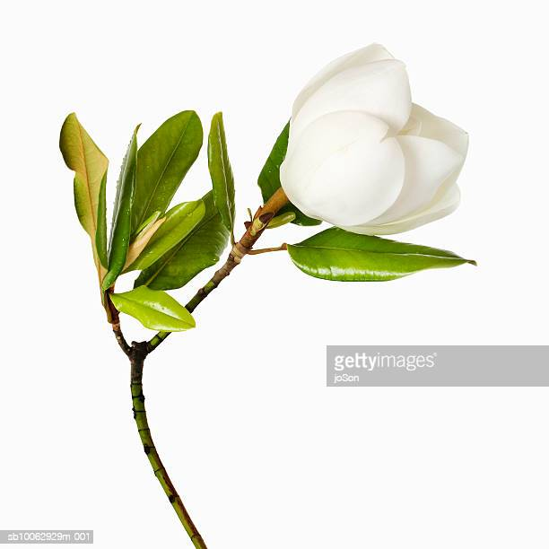 magnolia flower and leaves on white background, close-up - single flower stock pictures, royalty-free photos & images