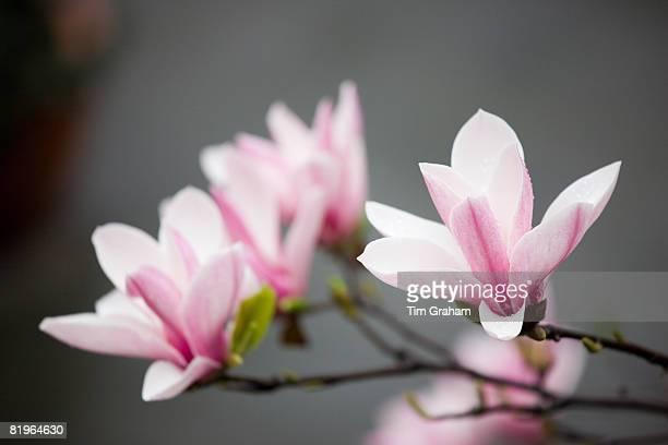 Magnolia Flower, China
