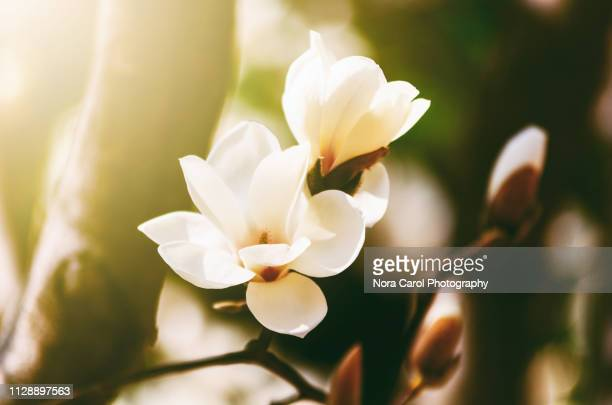 magnolia flower - magnolia stock photos and pictures