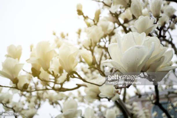 Magnolia Flowers Background With Copy Space