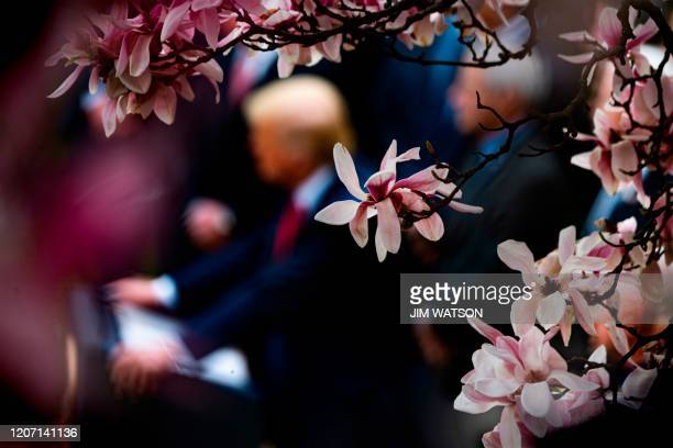 TOPSHOT Magnolia flowers bloom in the Rose Garden of the White House as US President Donald Trump updates the federal response to COVID19 known as...