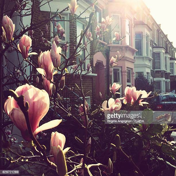 Magnolia Flowers Blooming Outside Building