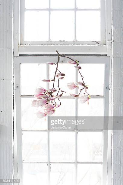 Magnolia Flowers hanging on white paned Window