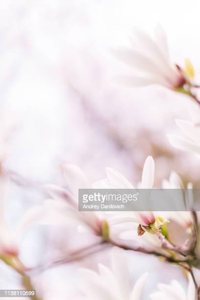 magnolia flowers on the blue sky background - in fiore foto e immagini stock