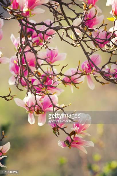 magnolia flowers - magnolio fotografías e imágenes de stock