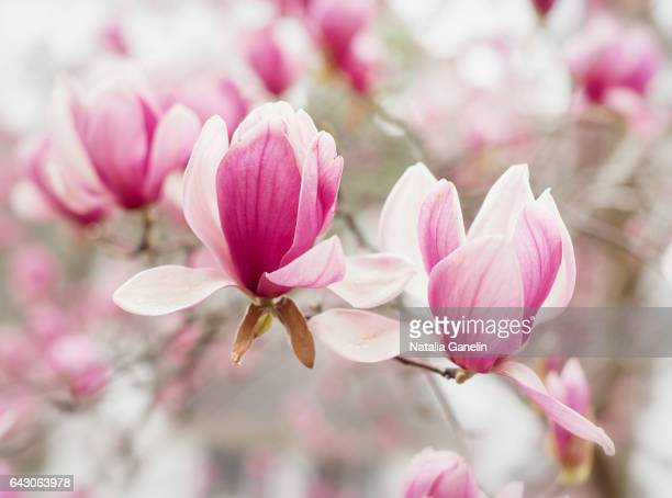 magnolia in bloom - magnolia stock photos and pictures