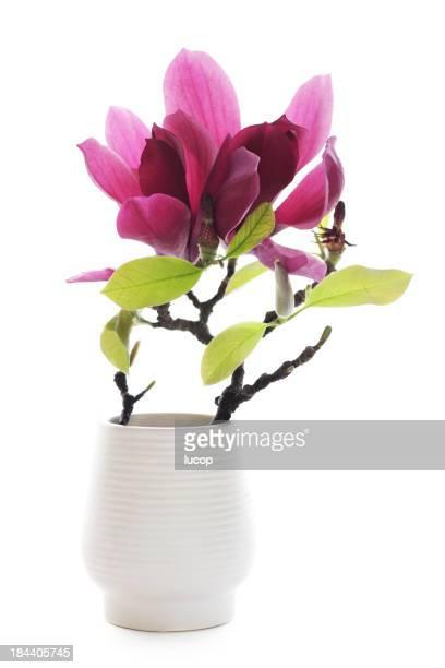 Magnolia isolated on white