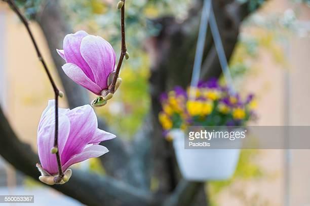 magnolia liliflora, with flowers in the background - magnolio fotografías e imágenes de stock