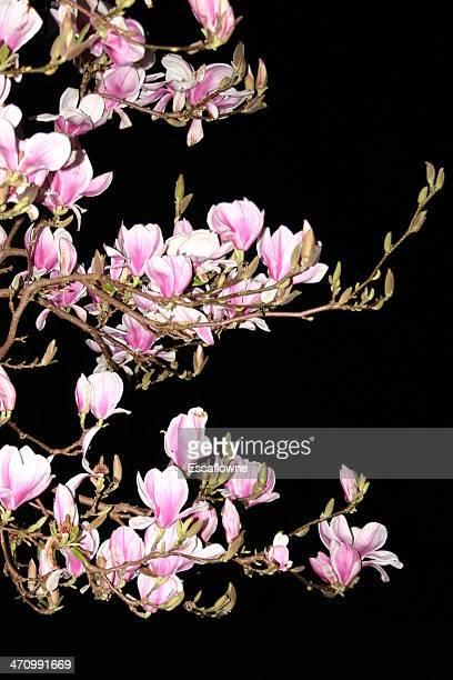 Magnolia Night #1