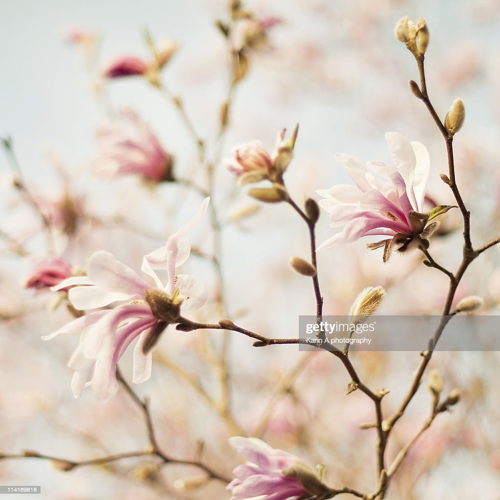 Magnolia : Stock Photo