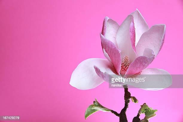 Tulpenmagnolie auf Rosa Hintergrund