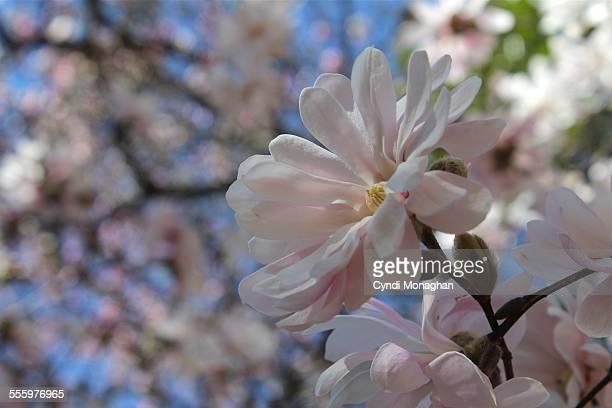 Magnolia Stellata blossoms