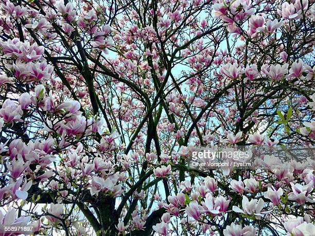 Magnolia Tree Covered In Blossom