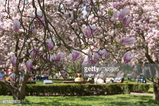 Magnolia Tree In Full Bloom In Park Schöntal Stock Photo Getty Images