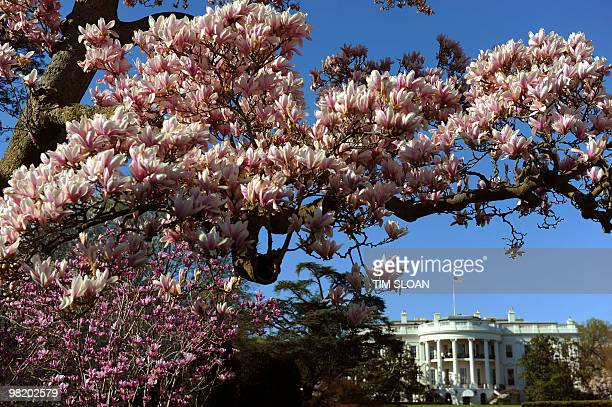 A magnolia tree is seen in full bloom on March 31 2010 on the South Grounds of the White House in Washington DC AFP PHOTO / Tim Sloan