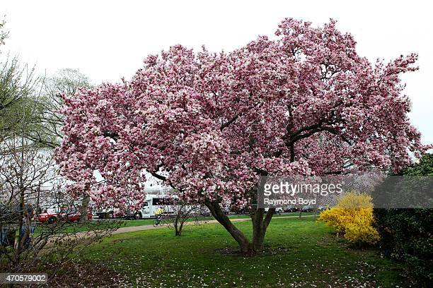 Magnolia tree on April 10 2015 in Washington DC