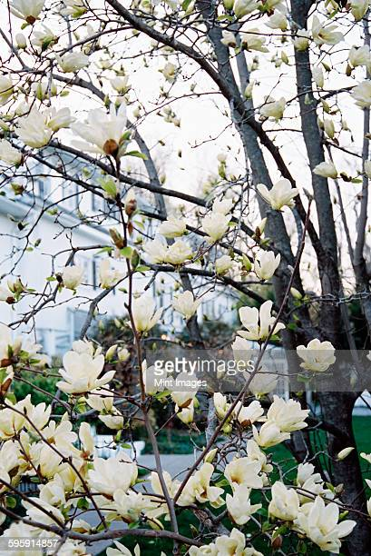 A magnolia tree with large creamy blossoms, flowering in a hotel garden.