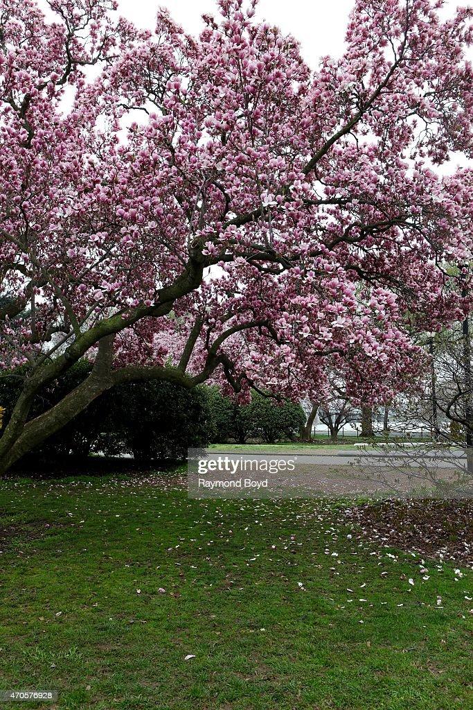 Magnolia Trees On April 10 2015 In Washington Dc News Photo