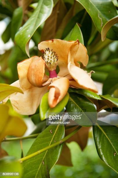 magnolia virginiana dried flower - magnolio fotografías e imágenes de stock