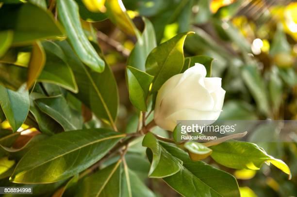 magnolia virginiana flower - magnolio fotografías e imágenes de stock