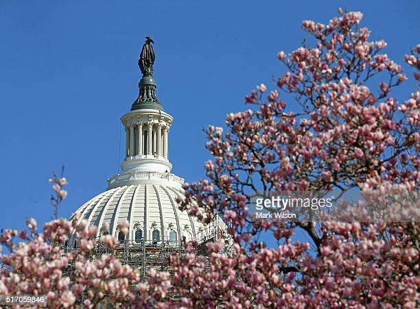 Magnolias are in bloom while workers continue to remove the scaffolding that surrounds the dome of the US Capitol as restoration nears completion...