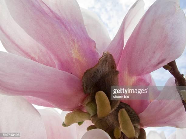 Magnolienblüte in den Gärten der Welt in BerlinMarzahn Die Magnolien sind eine Pflanzengattung in der Familie der Magnoliengewächse Sie enthält etwa...