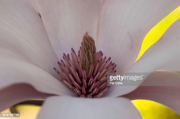 magnolio en color - magnolio fotografías e imágenes de stock