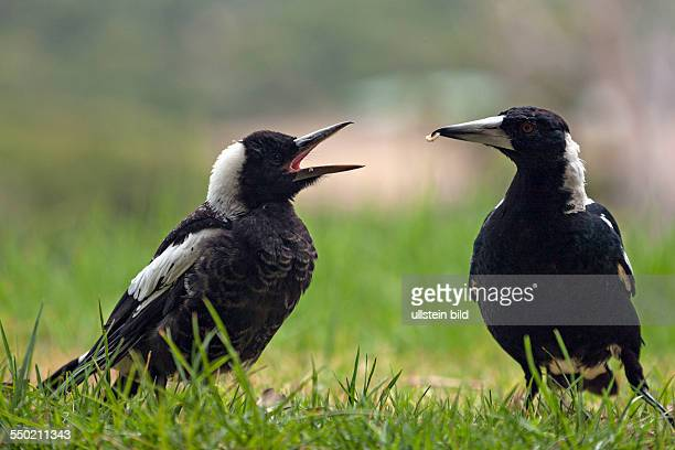 Magpie feeding young Augusta Western Australia