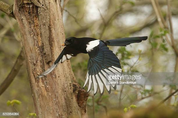 A Magpie (Pica pica) in flight with a mouthful of food.