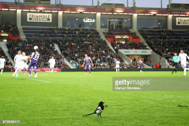 A magpie is pictured on the field as players are playing nearby during the Ligue 1 match between Toulouse FC and SM Caen at Stadium Municipal on May...