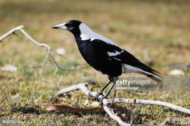 Magpie is seen on the grounds before the round 19 AFL match between the Collingwood Magpies and the Adelaide Crows at Melbourne Cricket Ground on...