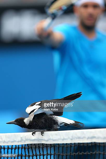 Magpie lands on the net during the second round doubles match between David Marrero of Spain, Fernando Verdasco of Spain and Alex Bolt of Australia...