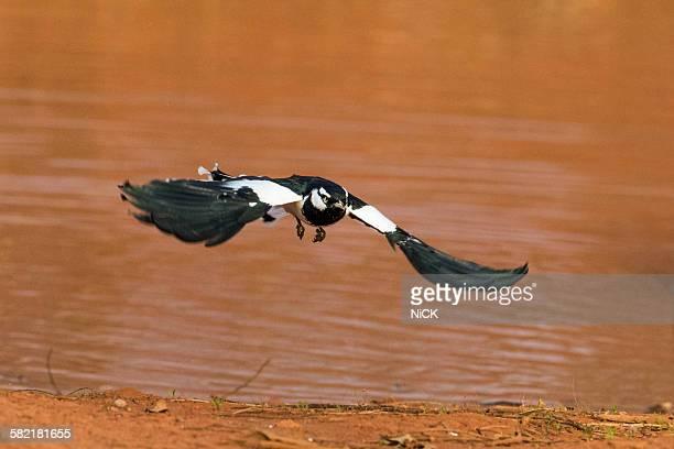 Magpie lark bird