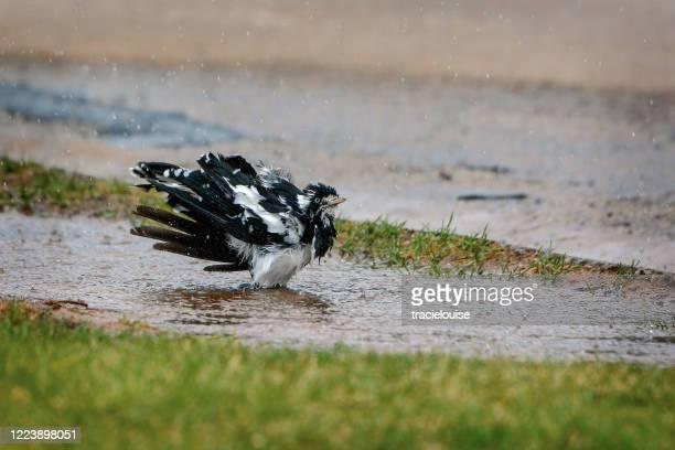 magpie lark ou peewee ou pee wee - froncé photos et images de collection