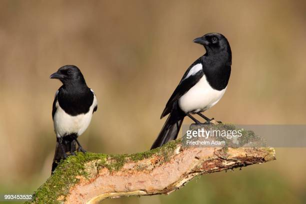 343 European Magpie Photos and Premium High Res Pictures - Getty Images