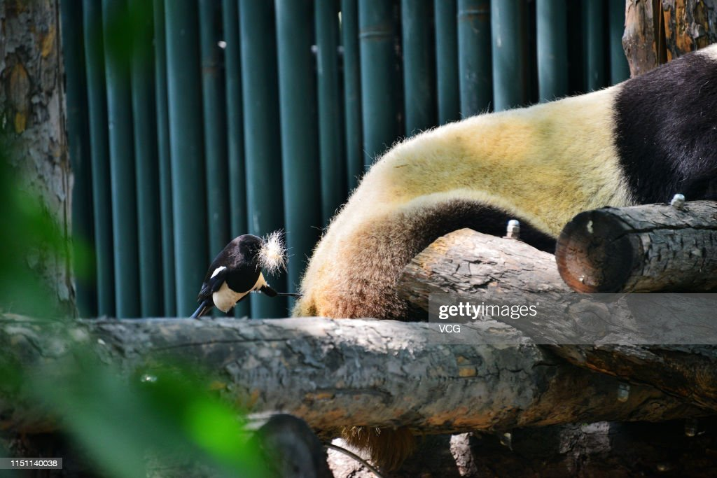 CHN: Magpies Peck Giant Panda's Hair In Beijing