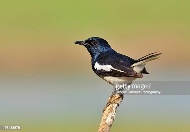 Magpie Robin with natural tricolor Indian flag