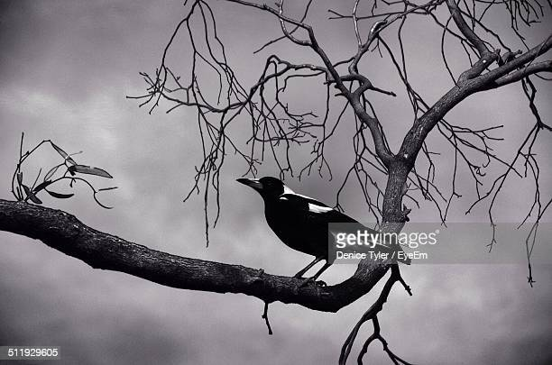Magpie sitting on a branch of tree