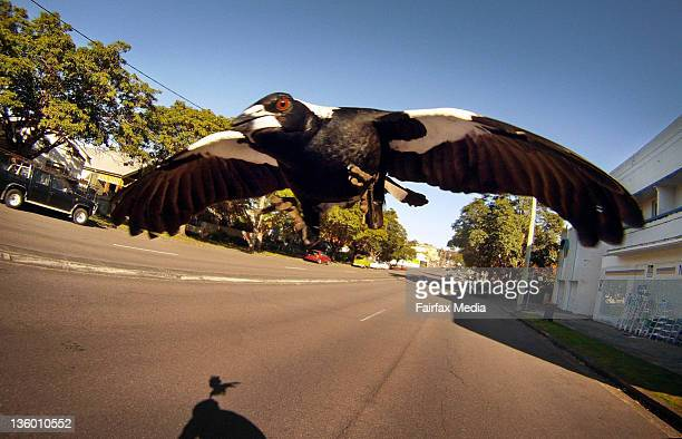 A magpie swoops a cyclist along Lambton Road New Lambton in Newcastle